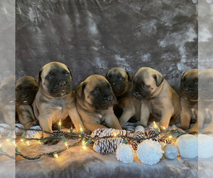Bullmastiff Litter for sale in STAFFORD, VA, USA