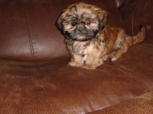 Puppyfinder com: Shih Tzu puppies puppies for sale near me
