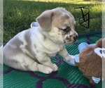 French Bullhuahua Puppy For Sale in YPSILANTI, MI, USA