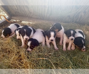 Jack Russell Terrier Litter for sale in MARSING, ID, USA
