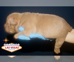 American Bully Litter for sale in LAS VEGAS, NV, USA