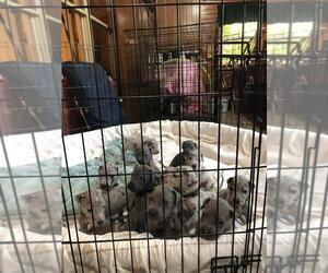 Great Dane Litter for sale in ROSSVILLE, IN, USA