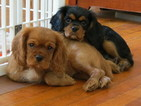 Cavalier King Charles Spaniel Puppy For Sale in COLUMBIA, SC, USA