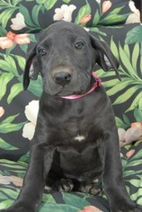 Great Dane Puppy For Sale near 28613, Conover, NC, USA