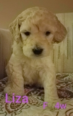Goldendoodle Litter for sale in EAST POINT, GA, USA