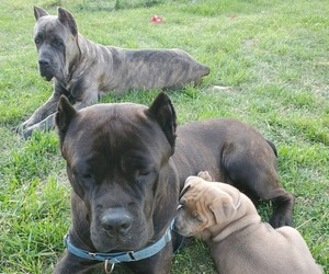 Cane Corso Litter for sale in GALLATIN, TN, USA
