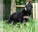 German Shepherd Dog Puppy For Sale in WARSAW, IN, USA