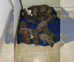 American Pit Bull Terrier Litter for sale in TACOMA, WA, USA