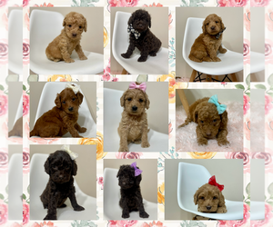 Australian Labradoodle Litter for sale in MACON, IL, USA