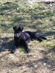 German Shepherd Dog Puppy For Sale in WINNEMUCCA, NV, USA