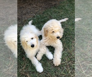 Goldendoodle Litter for sale in MOORESVILLE, NC, USA