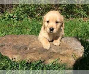 Golden Retriever Litter for sale in TOWER CITY, PA, USA