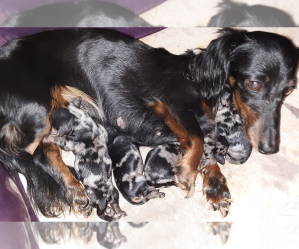 Medium Photo #1 Dachshund Puppy For Sale in ADEL, IA, USA