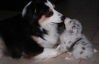 Australian Shepherd Puppy For Sale in HERNANDO, MS, USA
