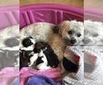 Havanese Puppy For Sale in FORT WAYNE, IN, USA