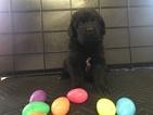 Newfoundland Puppy For Sale in MURFREESBORO, TN, USA