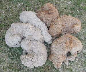 Poodle (Standard) Litter for sale in MONTELLO, WI, USA