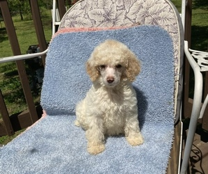 Poodle (Standard) Litter for sale in BELTON, SC, USA