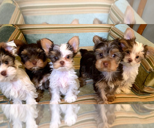 Yorkshire Terrier Litter for sale in ORLANDO, FL, USA