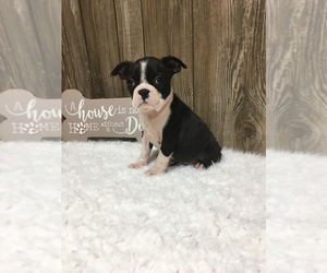 Boston Terrier Litter for sale in MYRTLE, MO, USA