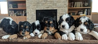 Bernese Mountain Dog-Miniature Bernedoodle Mix Puppy For Sale in LOVELAND, CO, USA