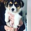 Pembroke Welsh Corgi Puppy For Sale in BLUEBELL, UT, USA