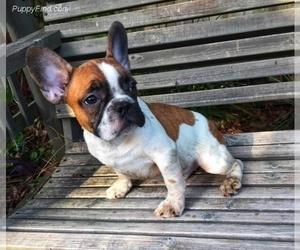 French Bulldog Litter for sale in TAMPA, FL, USA