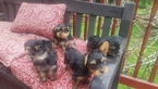 Yorkshire Terrier Puppy For Sale in STROUDSBURG, PA, USA