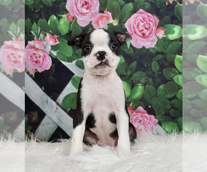 Boston Terrier Litter for sale in WARSAW, IN, USA