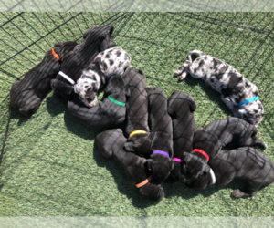Great Dane Litter for sale in BARSTOW, CA, USA