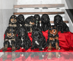 Bernedoodle Litter for sale in BONNERS FERRY, ID, USA
