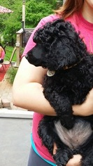 Poodle (Standard) Litter for sale in SIMPSONVILLE, SC, USA