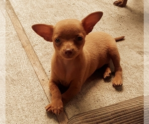 Chihuahua Litter for sale in ARANSAS PASS, TX, USA