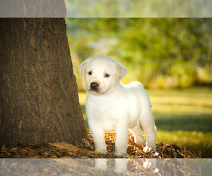 Labrador Retriever Litter for sale in MONROE, GA, USA