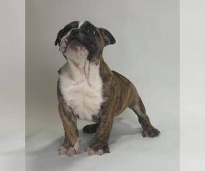 English Bulldog Litter for sale in NAPPANEE, IN, USA