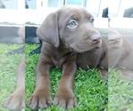 Labrador Retriever Puppy For Sale in BUCKLEY, WA, USA