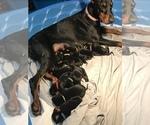 Doberman Pinscher Puppy For Sale in WEST MONROE, LA, USA