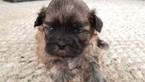 Zuchon Puppy For Sale in MERRIAM, KS, USA