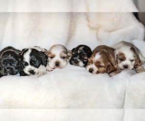 Cocker Spaniel Litter for sale in SALEM, OR, USA