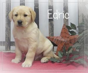 Labrador Retriever Litter for sale in BULLTOWN, PA, USA