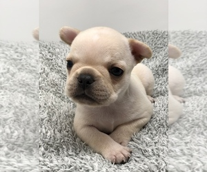 French Bulldog Litter for sale in WINDERMERE, FL, USA