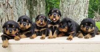 Rottweiler Litter for sale in PINE GROVE, PA, USA