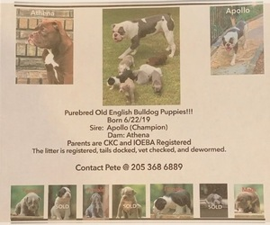 Olde English Bulldogge Litter for sale in BIRMINGHAM, AL, USA