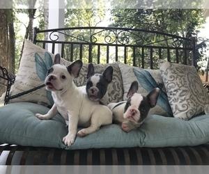 French Bulldog Litter for sale in MANDEVILLE, LA, USA