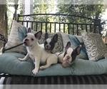 French Bulldog Puppy For Sale in MANDEVILLE, LA, USA