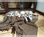 Siberian Husky Puppy For Sale in PALESTINE, WV, USA