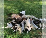 German Shorthaired Pointer Puppy For Sale in GASTONIA, NC, USA
