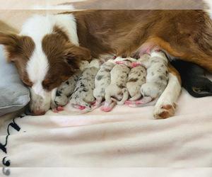 Australian Shepherd Litter for sale in HANOVER, MD, USA