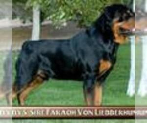 Rottweiler Litter for sale in N HIGHLANDS, CA, USA