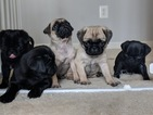 Pug Puppy For Sale in LEX PK, MD, USA